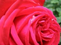 rosemuttertag.jpg